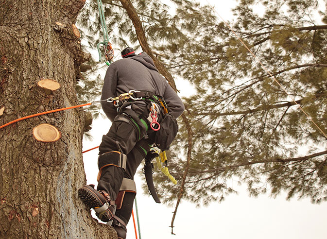 Limbwalkers Tree Service employee trimming a tree
