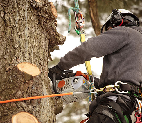 Limbwalkers Tree Service employee cutting a tree down